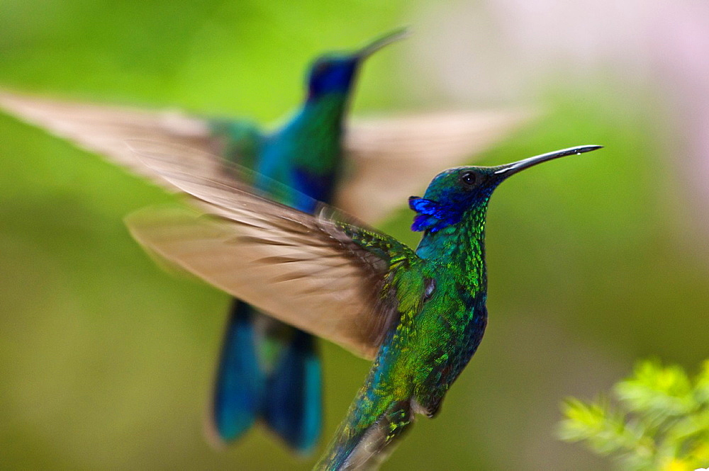 Sparkling violetear hummingbird Colibri coruscans flying in the rain forest of northern Venezuela
