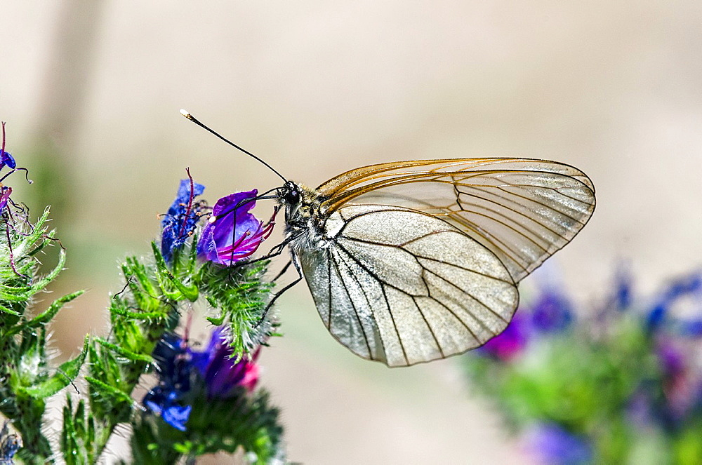 Black-veined White, Aporia crataegi, Greece