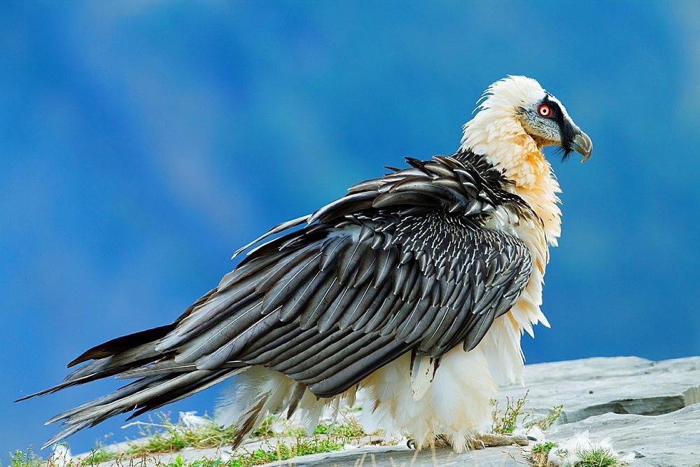 Adult lammergeier Gypaetus barbatus or bearded vulture of more than seven years old, in Ordesa y Monte Perdido National Park  Pyrenees  Torla  Huesca province  Aragon  Spain