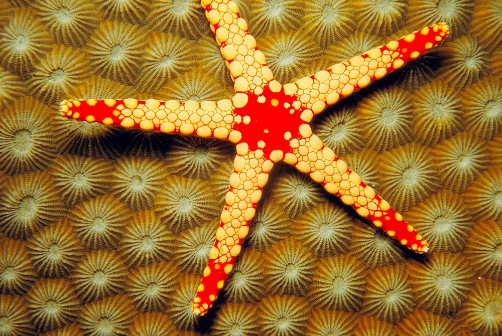 Starfish (Fromia monilis), Red Sea - 817-40705