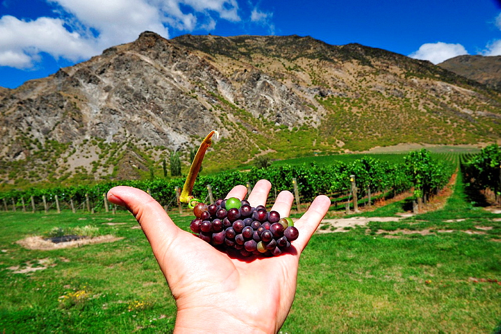 A hand holding a bunch of grapes in front of a vineyard