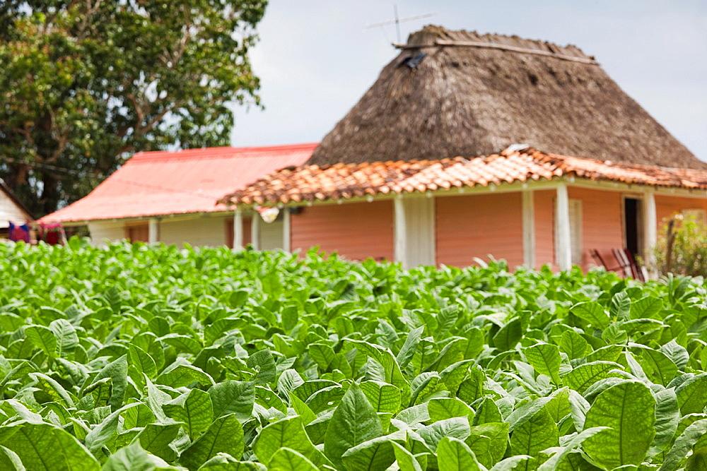 Cuba, Pinar del Rio Province, Vinales, small tobacco plantation