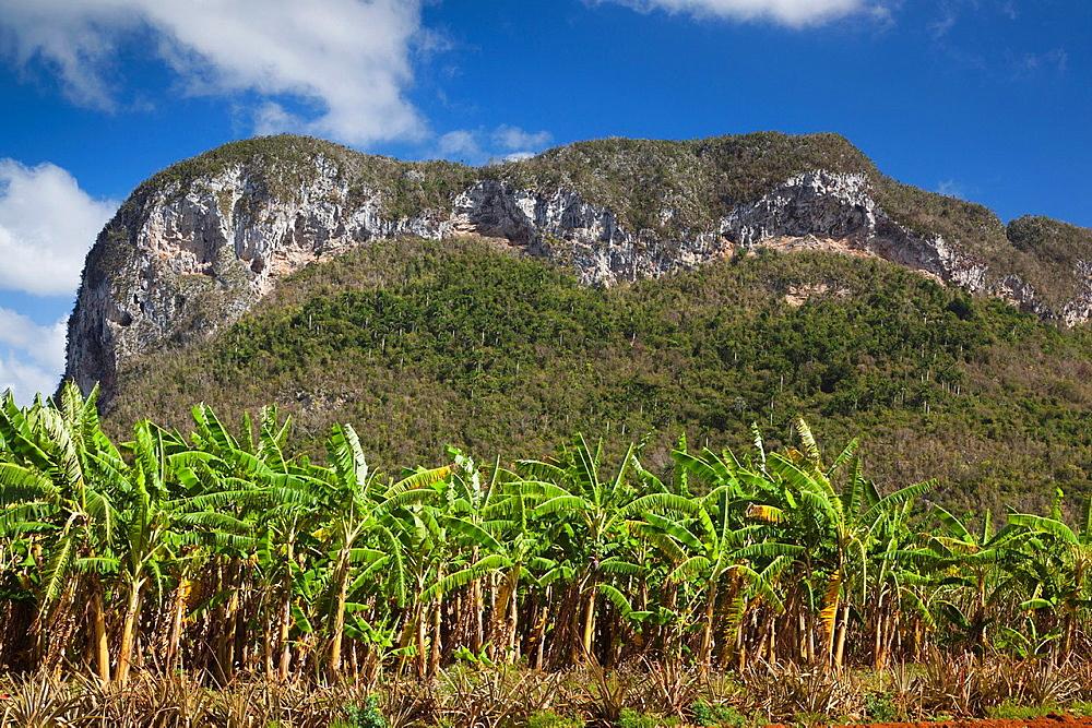 Cuba, Pinar del Rio Province, Vinales, Vinales Valley, palm plantation