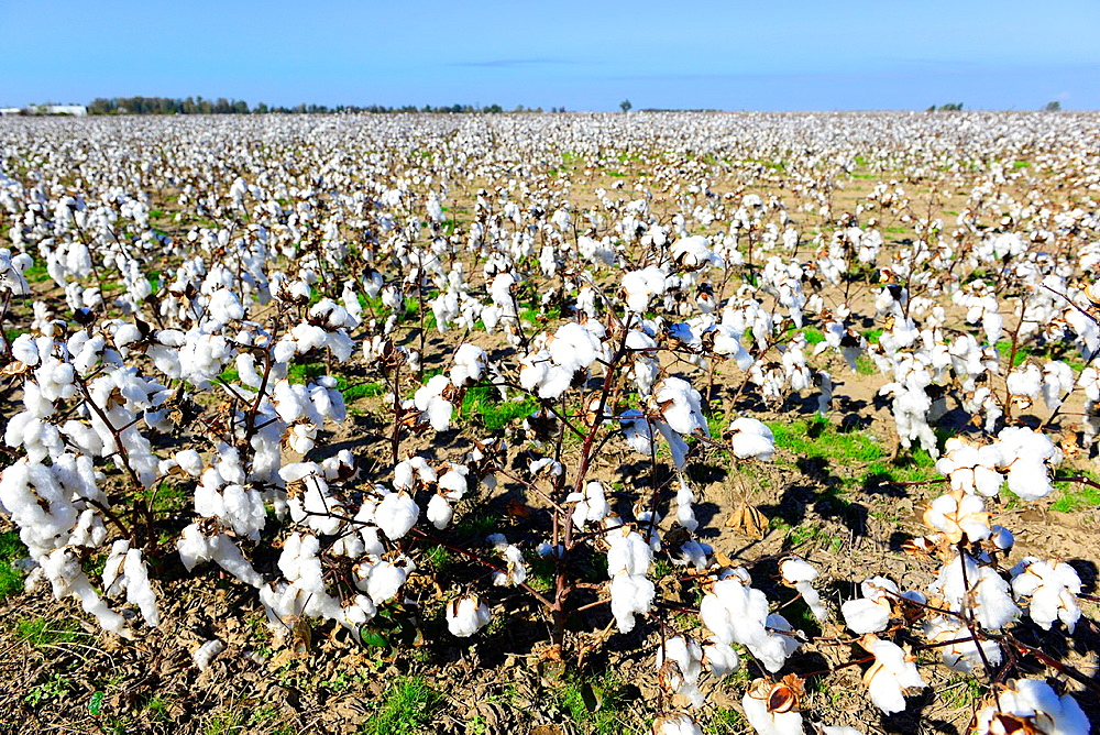 Cotton Field Ready for Harvesting Mississippi