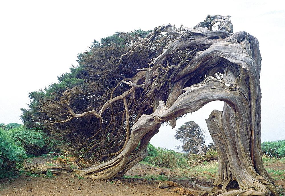 Ancient juniper. El Sabinar, El Hierro island, Canary Islands, Spain.