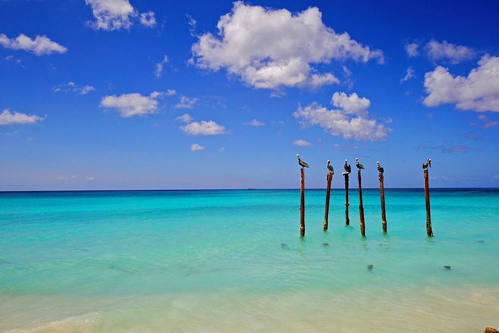 Pelicans of Sunny Aruba in the Caribbean Sea