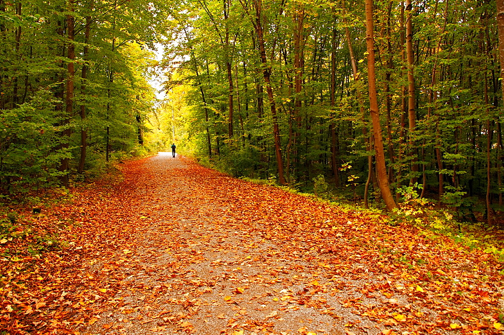 lonely man walking in the autumn forest, close to Heidenheim, Heidenheim an der Brenz, Baden-Wurttemberg district, Swabia, Southern Germany