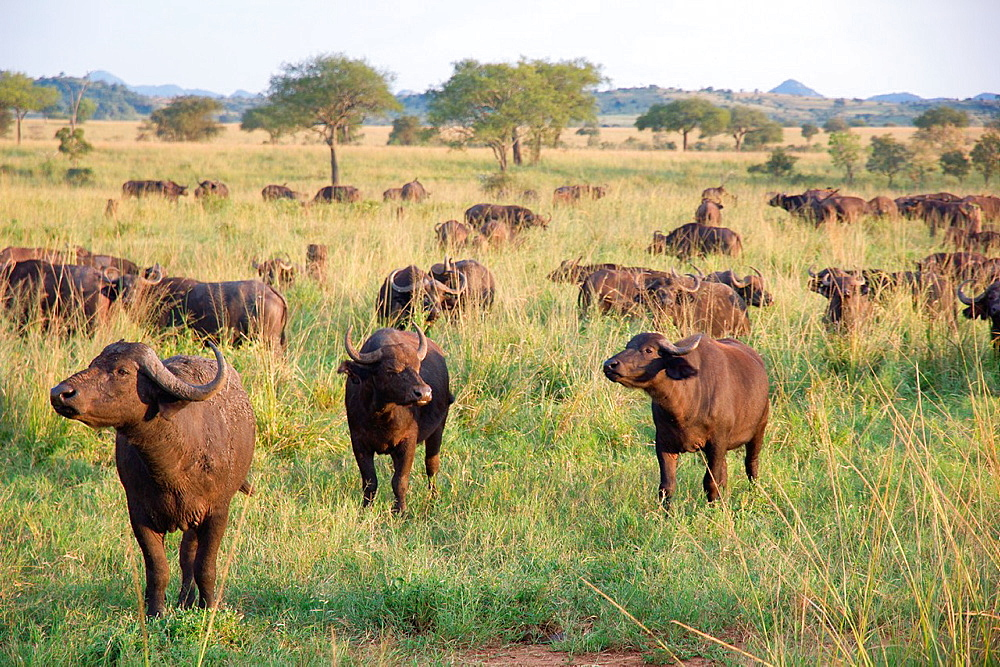 Herd African buffalo, Cape buffalo, Syncerus caffer. It is peculiar to South and East Africa, weighing up to 910 kg, notably tall in size and ferocity. Photo taken in ¥Kidepo Valley National Park¥, Uganda, Africa.