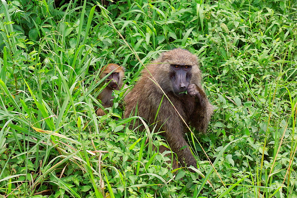 Olive baboon, Papio Anubis, Olive baboons are widespread throughout equatorial Africa and are found in 25 countries. From the west coast of Africa moving eastward. In the picture there is a mother with a juvenile, the mother is eating some grass and the s. Olive baboon, Papio Anubis, Olive baboons are widespread throughout equatorial Africa and are found in 25 countries. From the west coast of Africa moving eastward. In the picture there is a mother with a juvenile, the mother is eating some grass and the small one is in its back. In Uganda, olive baboons live in open woodland bordered by savannah and in evergreen tropical forests At Queen Elizabeth National Park, situated in Uganda, near the border of Democratic Republic of Congo, the habitat is characterized by dense forest, coarse wet grass, short grass and open grassland. Olive baboons consume a wide variety of foods and they can adapt to very different kind of habitats, from desert to mountain forest because they have many different strategies and habilities to extract food and nutrients. Baboons are omnivores and consume a huge variety of vegetables, insects, birds, eggs, and vertebrates including other primates. The Olive Baboon is one of the largest baboons, with the males being larger than the females. Their body length is 60, 86 cm, their tail length is 41, 58 cm and they weigh between 22 and 37 Kg. There is some geographical variation in average size. They have an olive green/grey coat that covers their bodies and a black face. The males have large canine teeth where as the teeth of females are much smaller. They move around on all four limbs. They live in troops of males and females that consist of between 20 and 50 members. The picture was taken in Ugande, in the Queen Elizabeth National Park, near the Kazinga channel., Uganda, Africa, East-africa