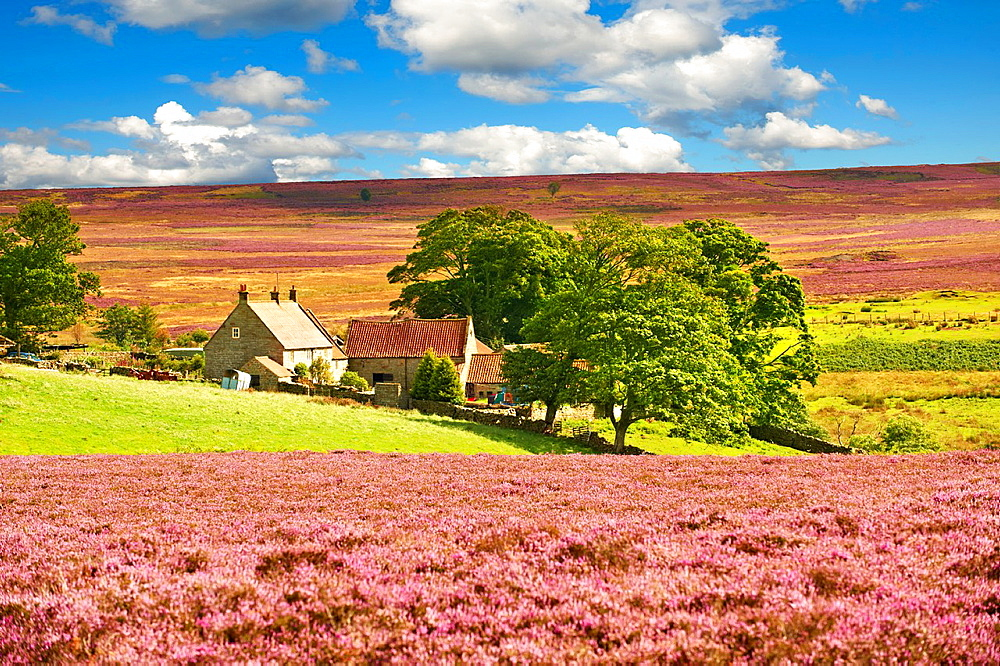 Traditional North Yorkshire farmhouse in the North Yorks Moors National Park grouse moor amongst the flowering summer heather. North Yorkshire, England