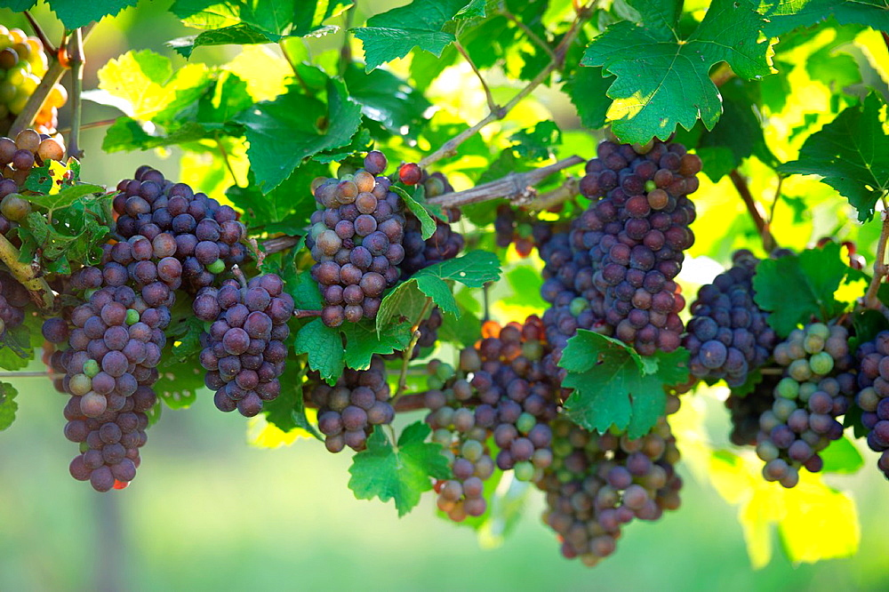 Grapes hanging from the vine