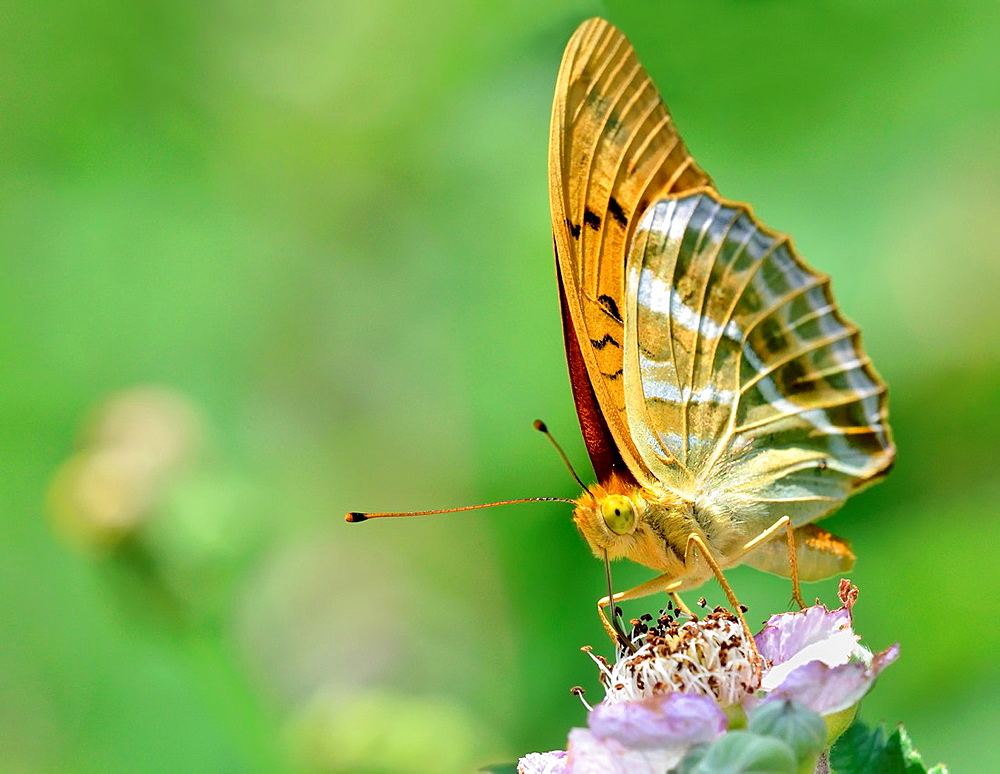 Silver-washed Fritillary, Argynnis paphia, Greece