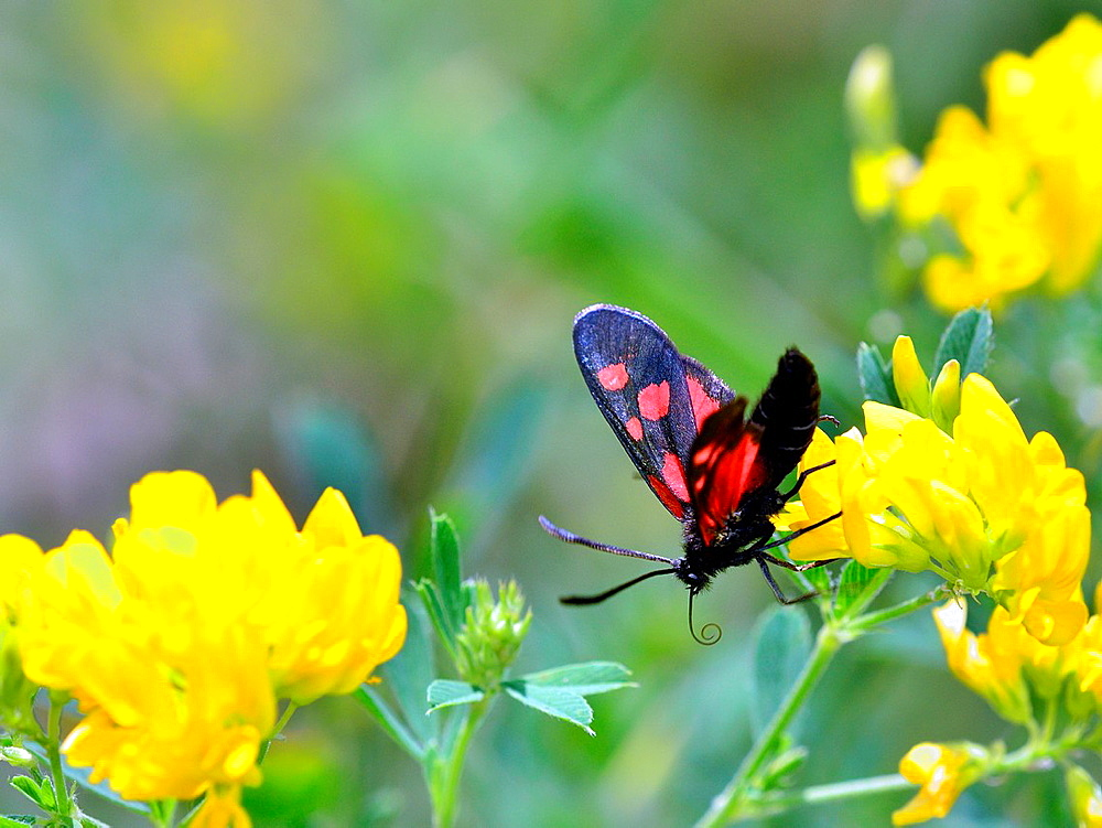 Narrow-Bordered Five-Spot Burnet Zygaena lonicerae, Greece