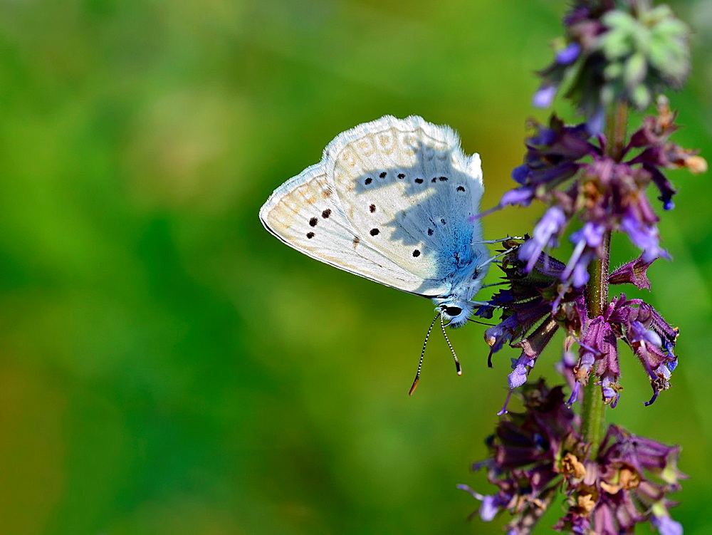 Meleageria daphnis, Meleager's Blue, Greece