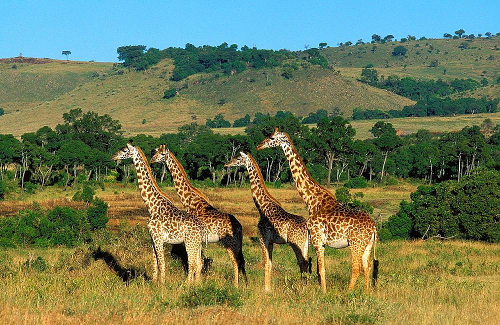 Masai Giraffe, giraffa camelopardalis tippelskirchi, Herd in Savannah, Masai Mara Park in Kenya - 817-412108