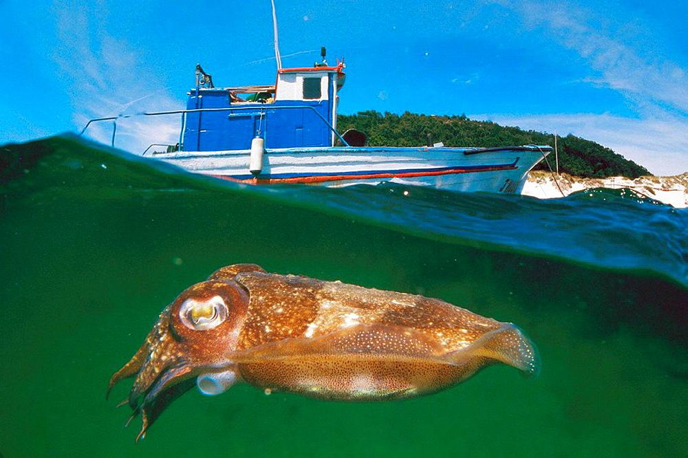 Cuttlefish (Sepia officinalis), Cies Islands, Ria of Vigo, Pontevedra province, Galicia, Spain