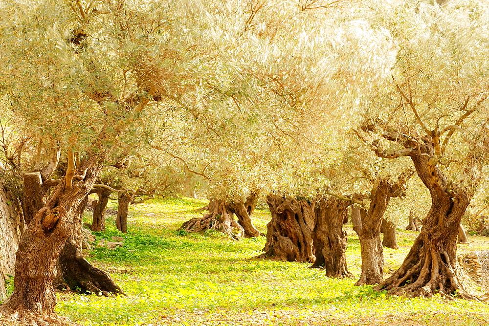 Son Marroig, olive, Sierra de Tramuntana Deia Mallorca Balearic Islands Spain