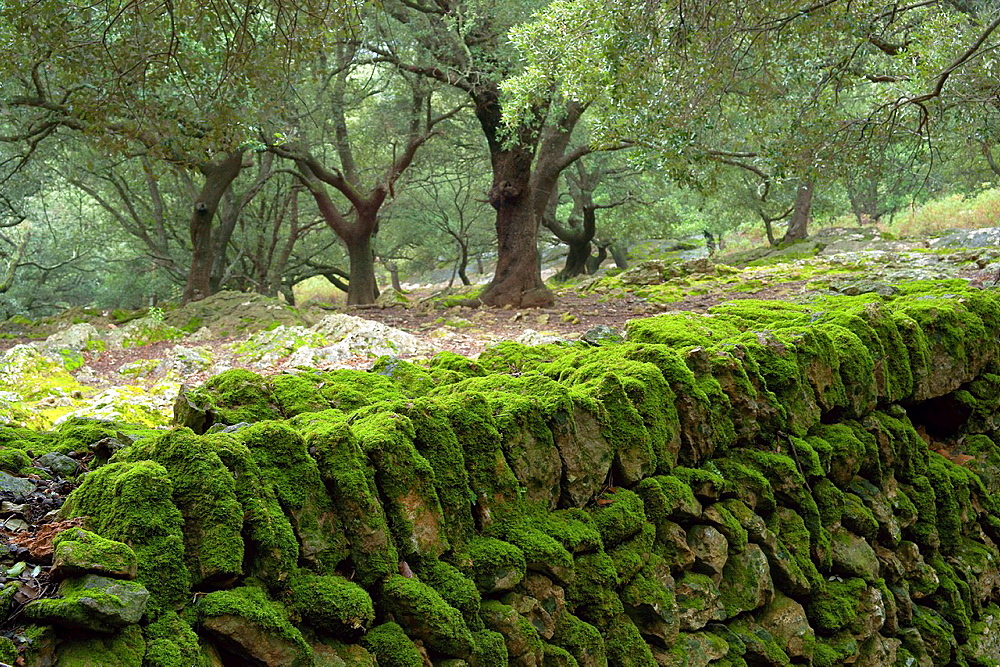 oaks, Son Perot, Orient Valley, Bunyola, Sierra de Tramuntana, Mallorca, Balearic Islands, Spain