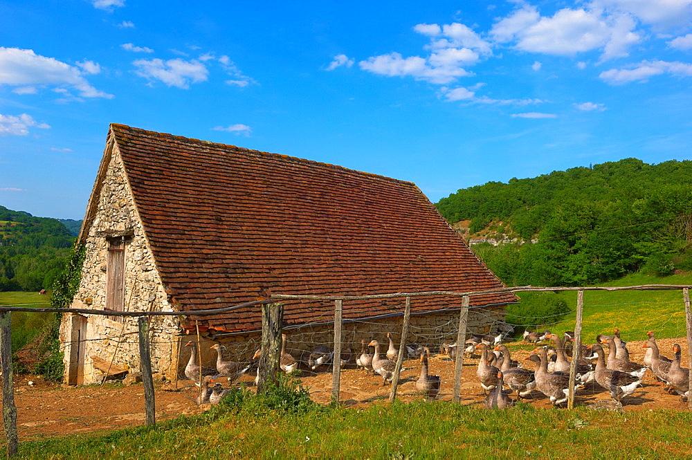 Belcastel, Farm Geese, France, Dordogne, Quercy, Perigord geese, Europe