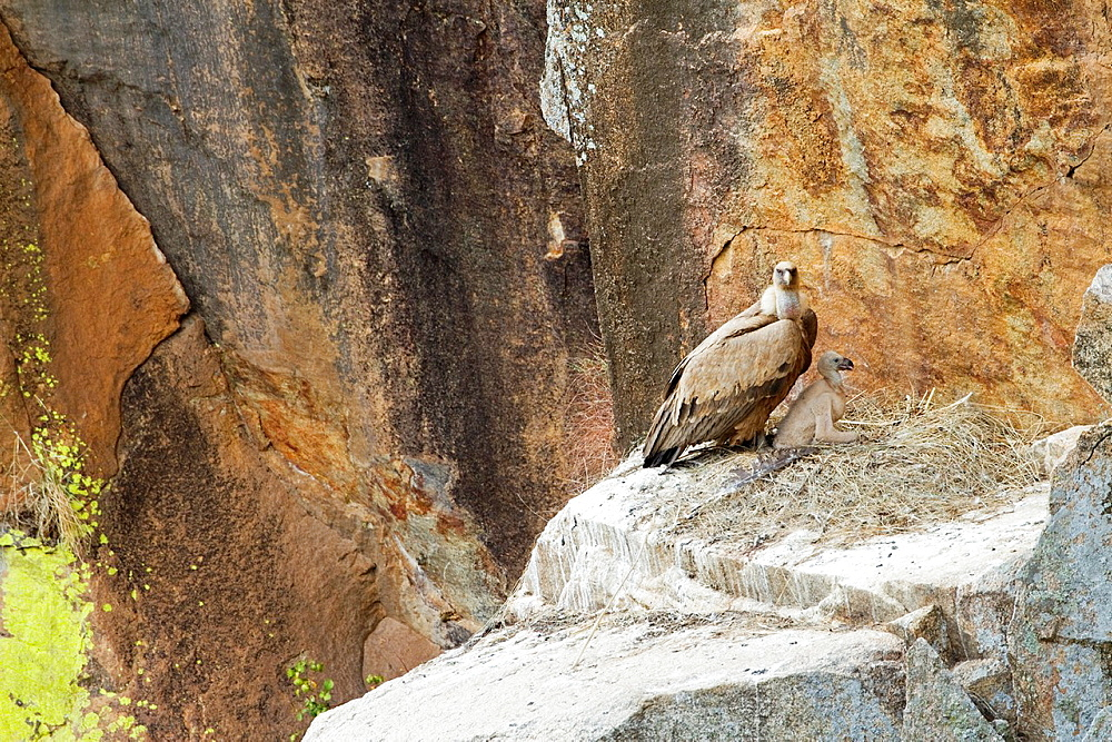 Griffon vulture Gyps fulvus protecting his chick on the nest in Arribes del Duero National Park Salamanca Spain