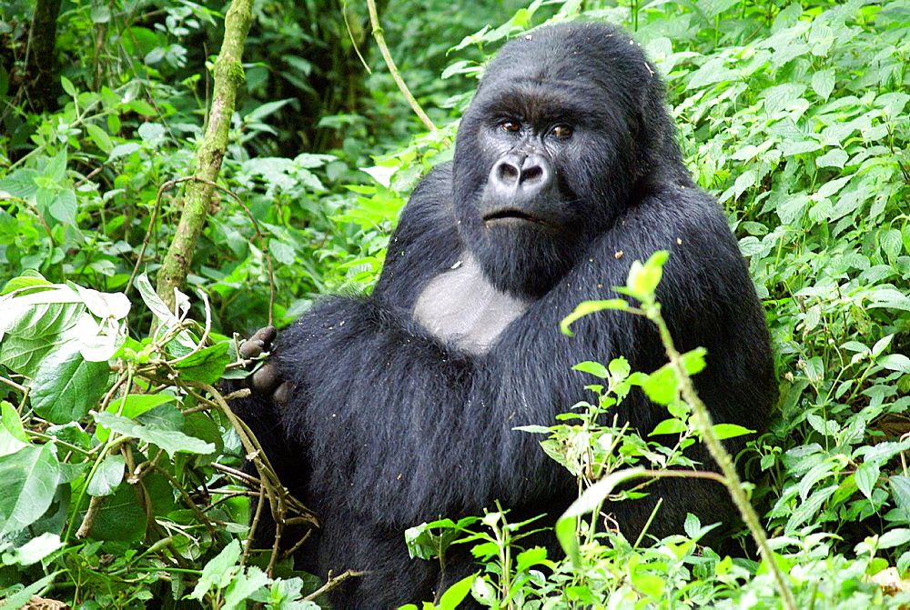 Rwanda, Volcanoes National Park Parc National des Volcans male gorilla