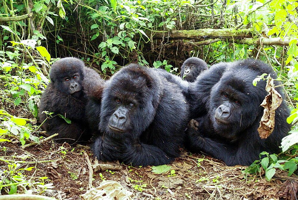 Rwanda, Volcanoes National Park Parc National des Volcans Gorilla family