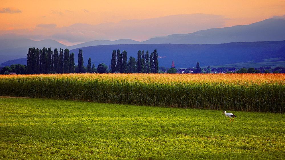 Stork in a maize field landscape, Alsace, Haut-Rhin, France