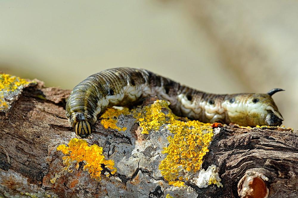 Hawk-moth larvae, Agrius convolvuli, Crete