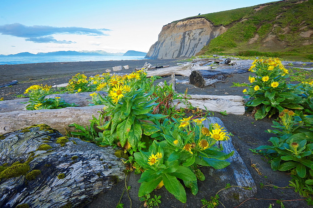 Driftwood and wildflowers on Fossil Beach, Kodiak, Alaska
