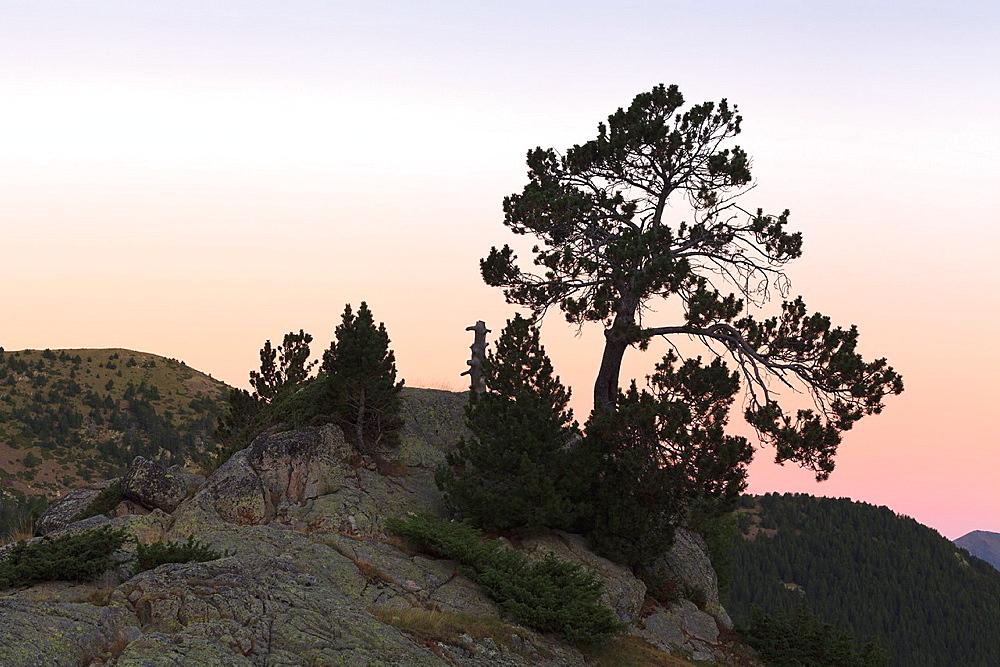 Mountain Pine Pinus uncinata Perafita Valley Pyrenees Andorra