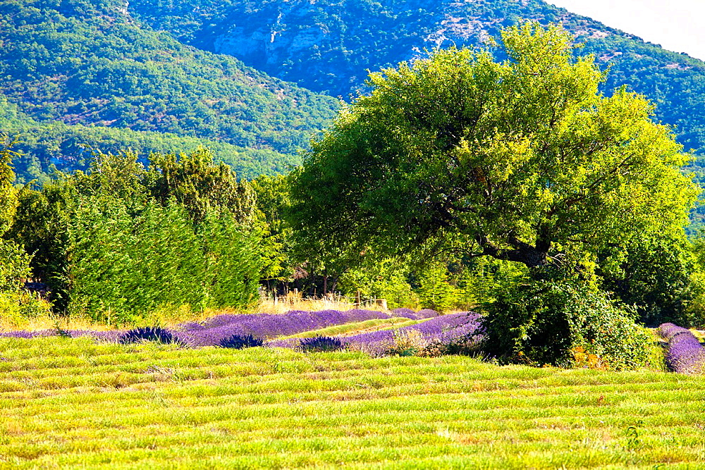 Blooming field of Lavender Lavandula angustifolia around Boux, Luberon Mountains, Vaucluse, Provence-Alpes-Cote dAzur, Southern France, France, Europe