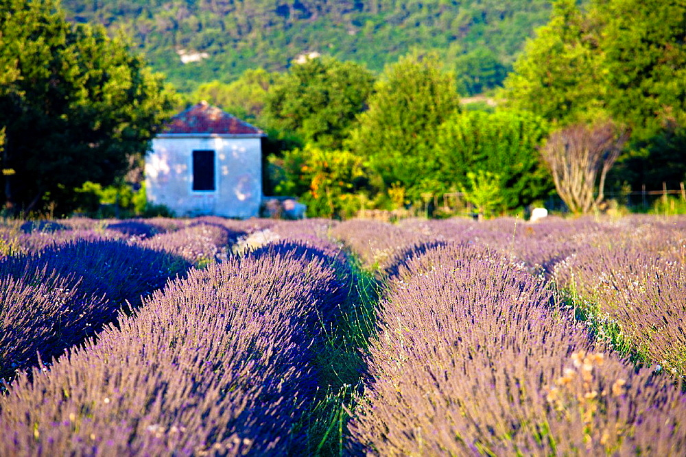 Blooming field of Lavender Lavandula angustifolia Provence-Alpes-Cote dAzur, Southern France, France, Europe
