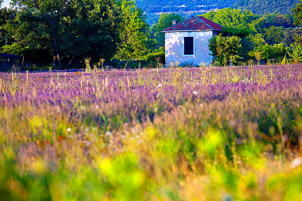 Blooming field of Lavender Lavandula angustifolia, Vaucluse, Provence-Alpes-Cote dAzur, Southern France, France, Europe