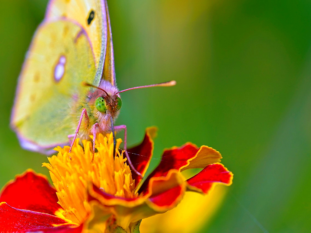 Clouded Yellow, Colias croceus, Crete