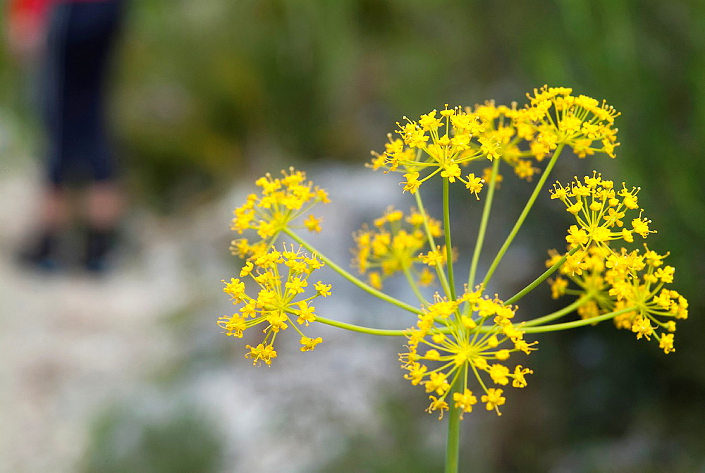 Ferula communis in the Vall de Laguar, Benimaurell province of Alicante, Valencia, Spainh