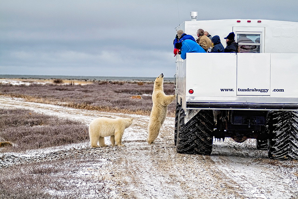 Curious Polar Bear close encounter as bear looks in to Tundra Buggy to see tourists at Churchill Manitoba Canada