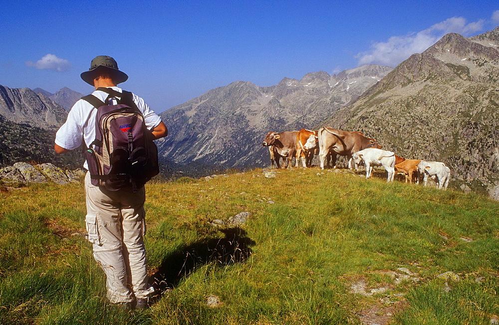 Hiker and cows in `Portarro d¥Espot¥ Espot pass, Aiguestortes i Estany de Sant Maurici National Park, Pyrenees, Lleida province, Catalonia, Spain