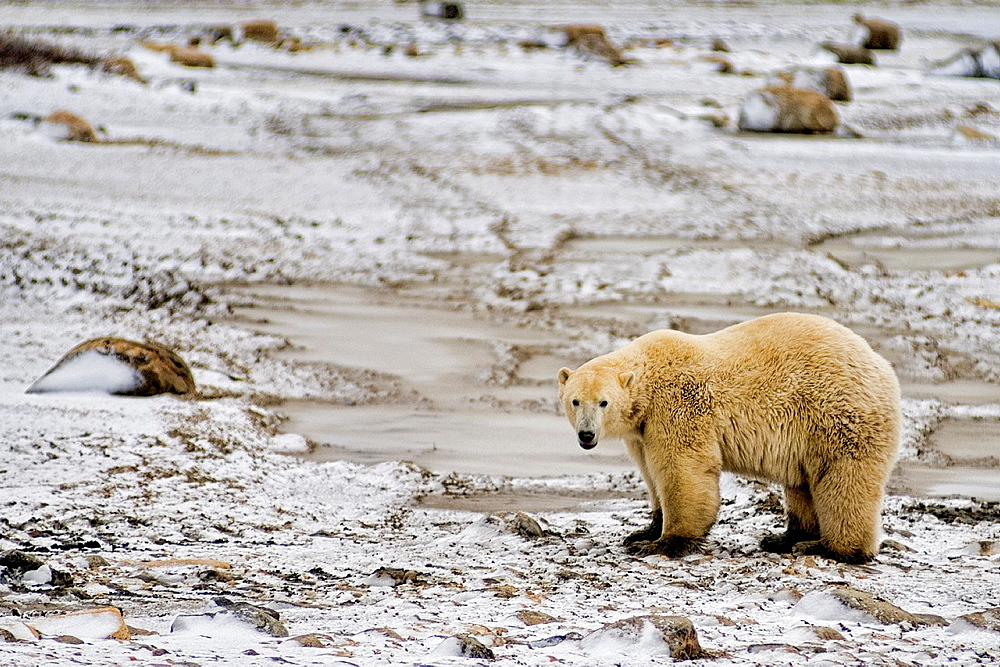 Curious Polar Bear close encounter as bear walks close by people at Churchill Manitoba Canada