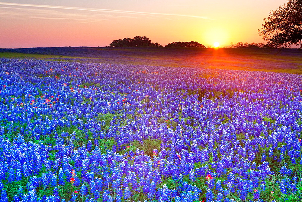 Early morning sunrise against a field of Texas bluebonnets, Lupininus texensis, Texas, USA - 817-418898