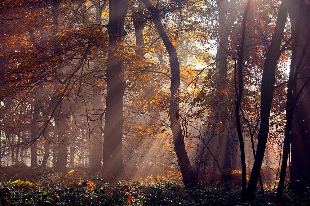 Oaks Quercus robur in Woodland Sunrise