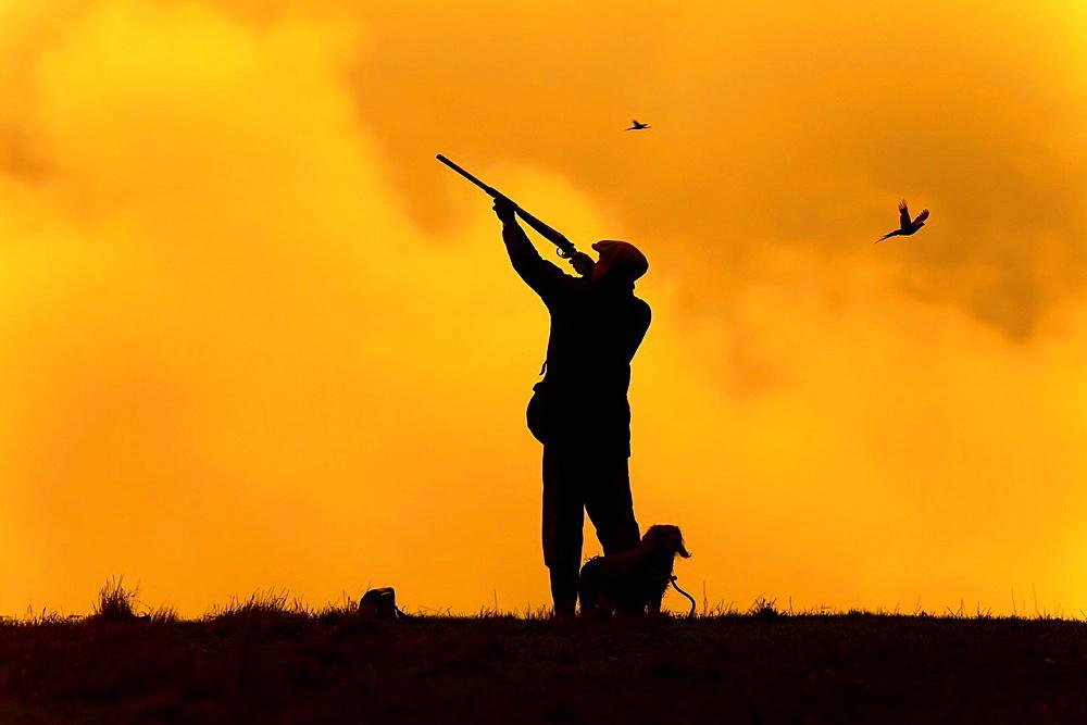 Shooting Pheasants on the last even drive mid Novemberr Essex