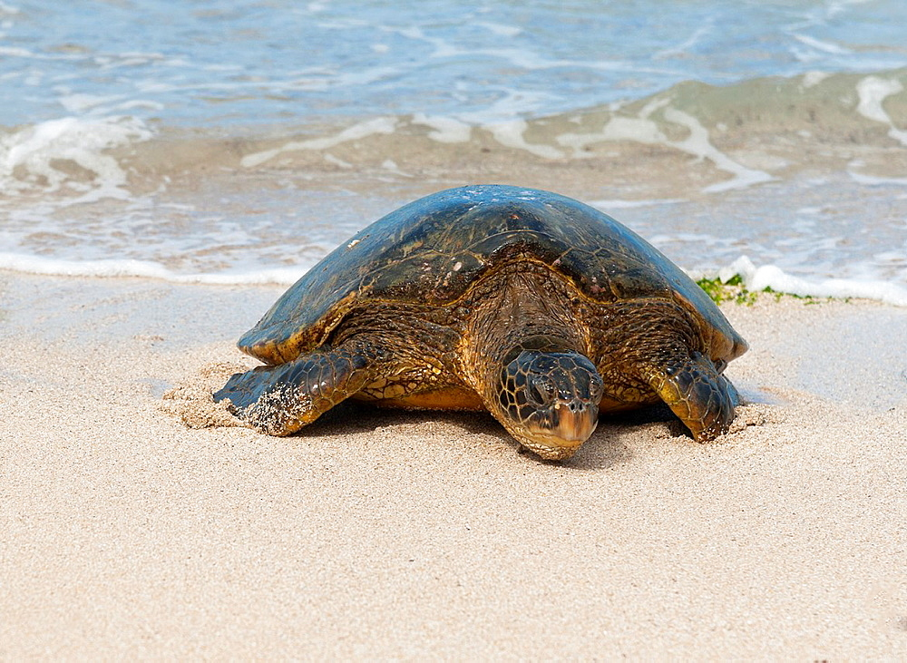 USA, Hawaii, North Shore Sea turtle crawling up the beach to lay eggs