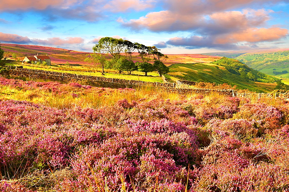 Heather blooming on the Fryup Dale moor North Yorks National Park, North Yorkshire, England