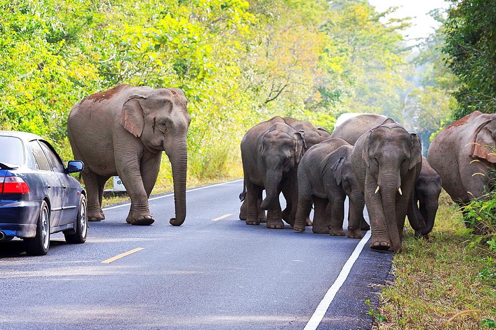 Herd of Asian Elephant Elephas maximus walking along road full of vehicles Khao Yai National Park Thailand