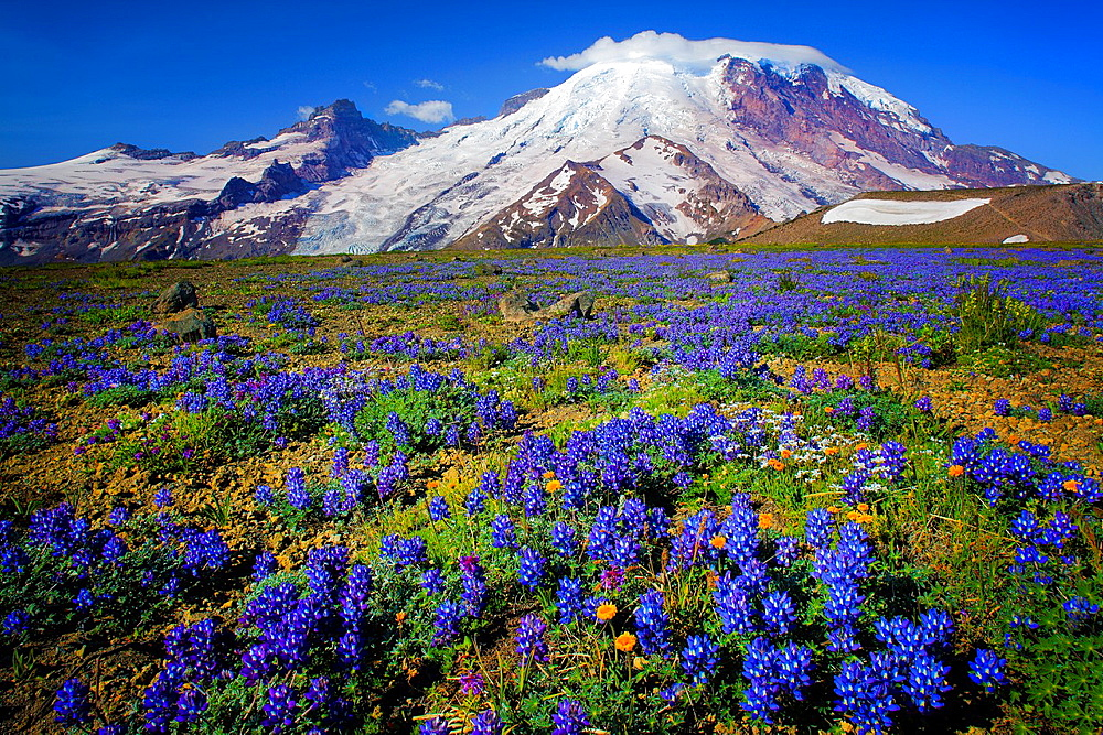 Carpet of lupines on 1st Burroughs Mountain in Mount Rainier National Park in Western Washington, USA