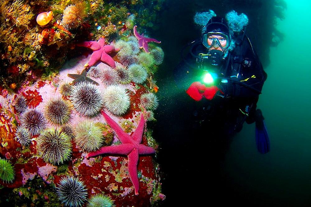 Starfish, Green sea urchin Henricia sanguinoleta, Strongylocentrotus droebachiensis Arctic, Russia, Barents sea