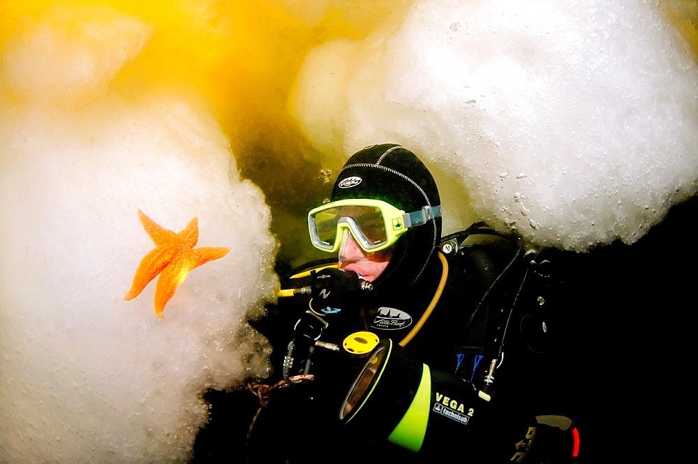ice diving, Diver and Common Starfish or Starfish Asterias Asterias rubens, White Sea, Karelia, north Russia, Arctic