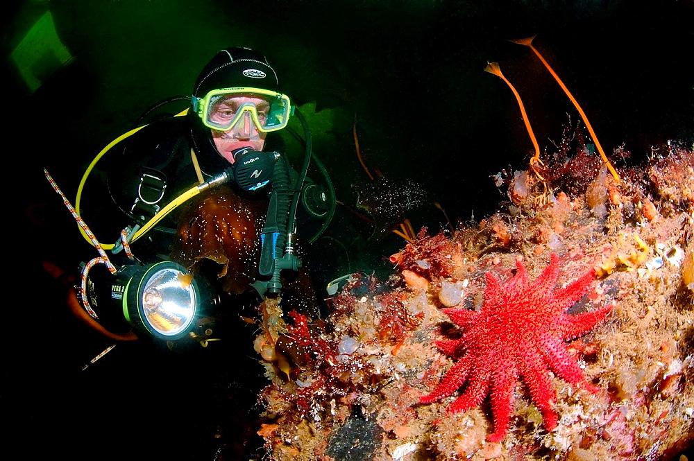 ice-diving, Diver and Common Sunstar Crossaster papposus, White Sea, Karelia, north Russia, Arctic