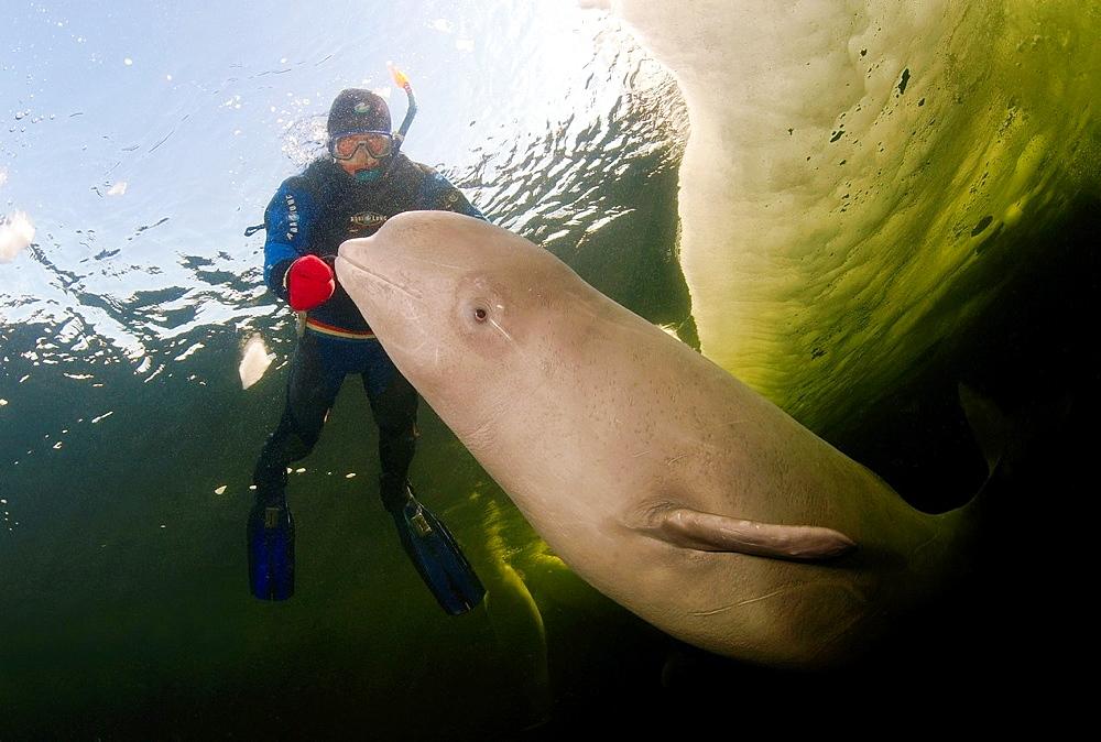 Beluga, White whale Delphinapterus leucas, White Sea, Karelia, north Russia, Arctic - 817-423681