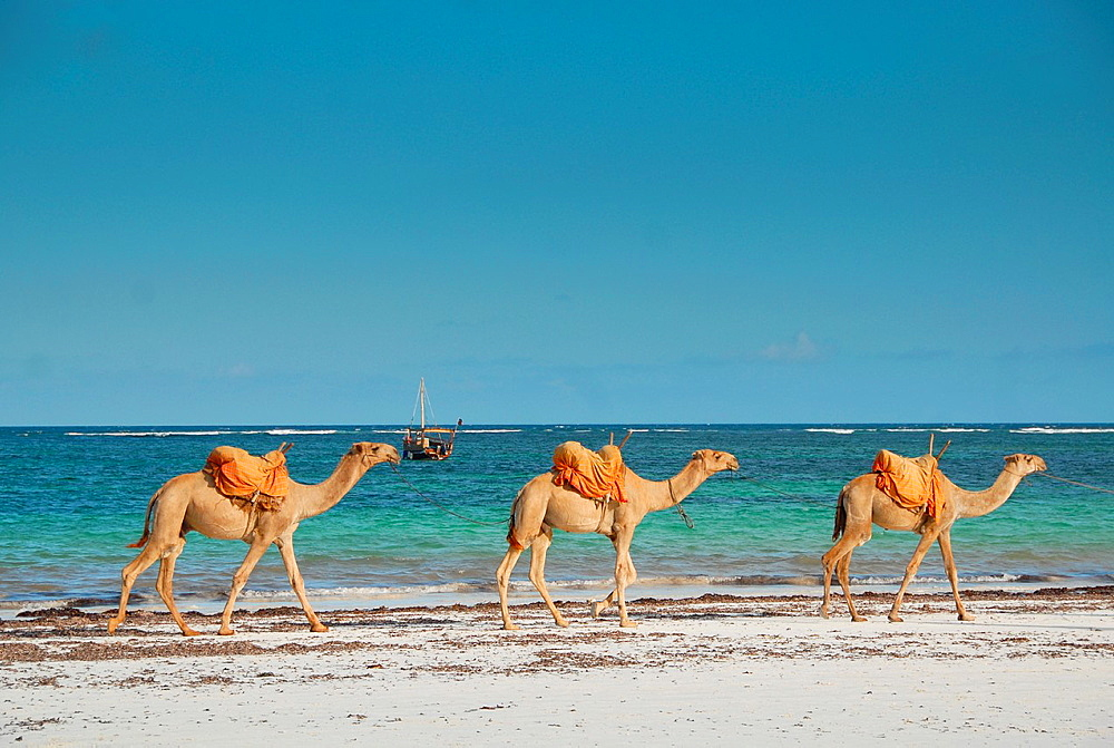 three camels at beach, Kenia